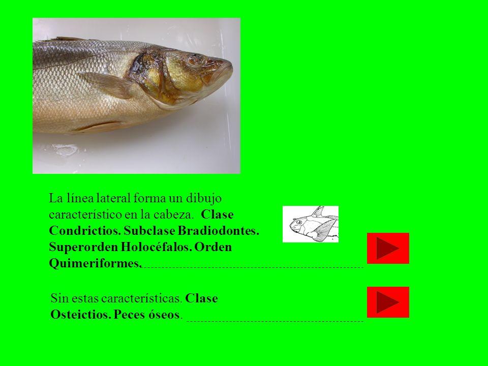 Sin estas características. Clase Osteictios. Peces óseos. La línea lateral forma un dibujo característico en la cabeza. Clase Condrictios. Subclase Br