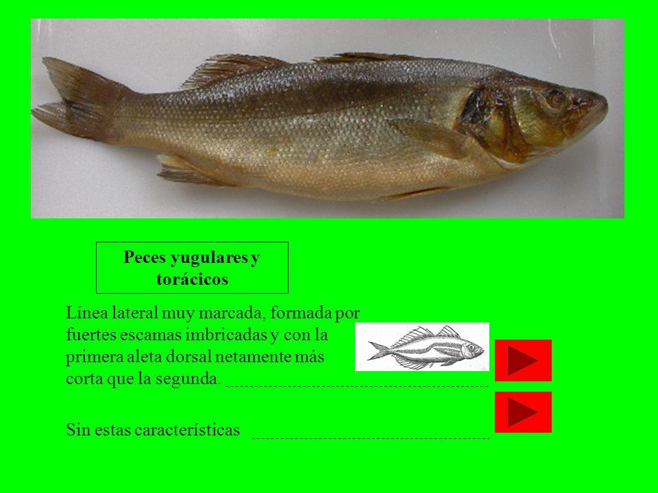 Línea lateral muy marcada, formada por fuertes escamas imbricadas y con la primera aleta dorsal netamente más corta que la segunda. Peces yugulares y