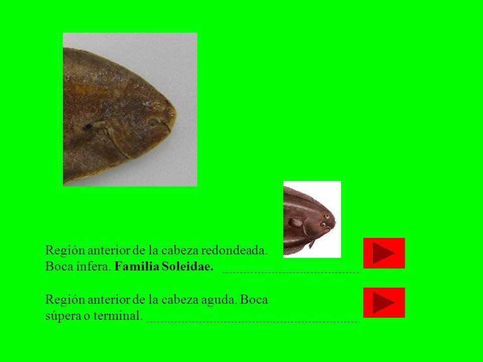 Región anterior de la cabeza redondeada. Boca ínfera. Familia Soleidae. Región anterior de la cabeza aguda. Boca súpera o terminal.