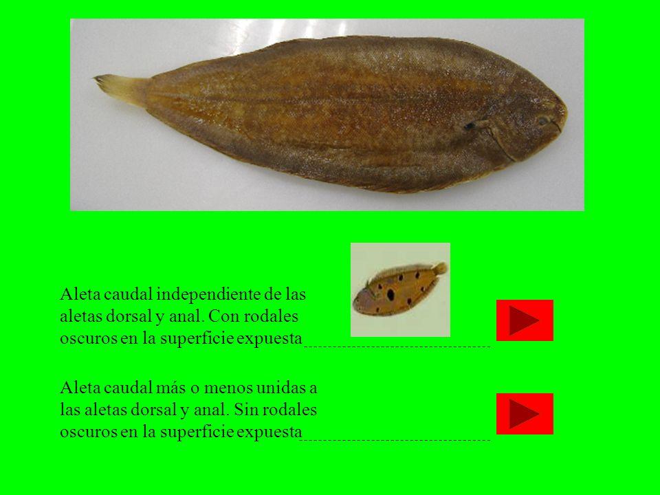 Aleta caudal independiente de las aletas dorsal y anal. Con rodales oscuros en la superficie expuesta Aleta caudal más o menos unidas a las aletas dor