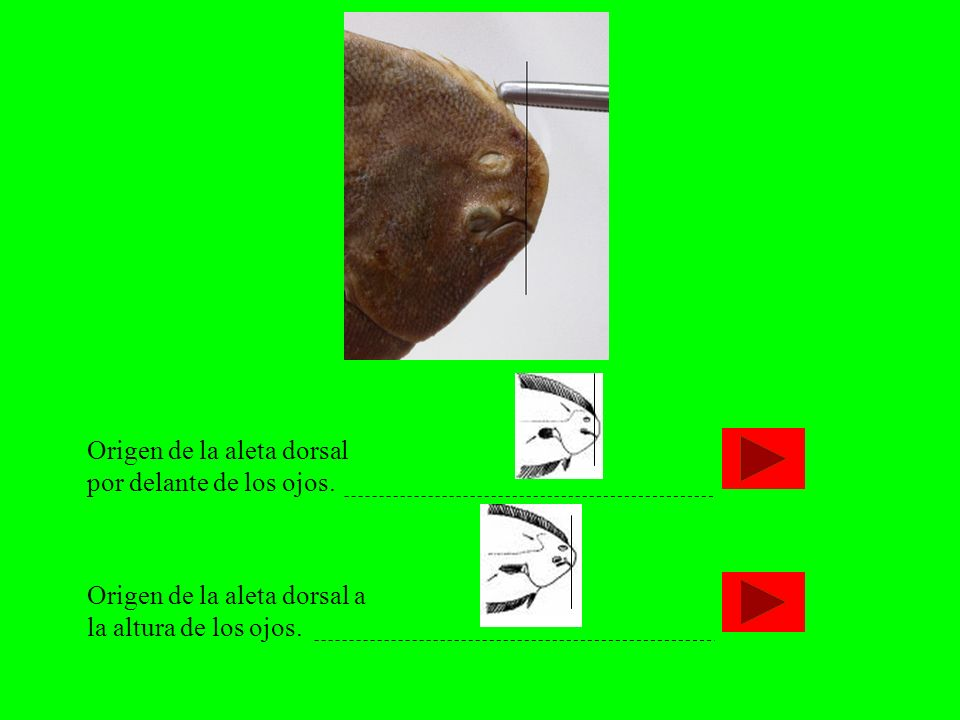 Origen de la aleta dorsal por delante de los ojos. Origen de la aleta dorsal a la altura de los ojos.