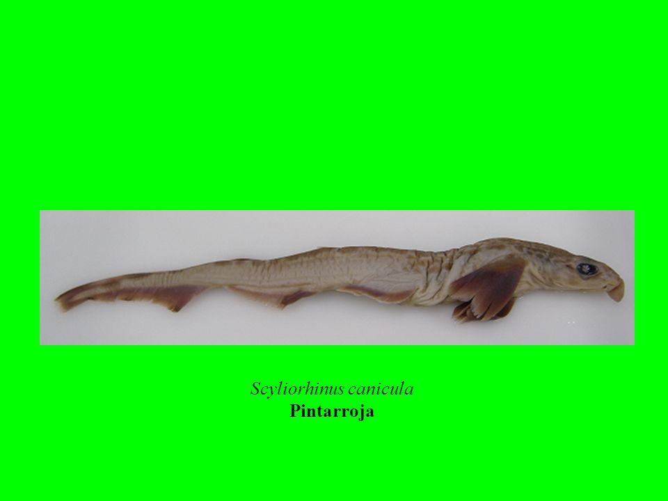 Scyliorhinus canicula Pintarroja