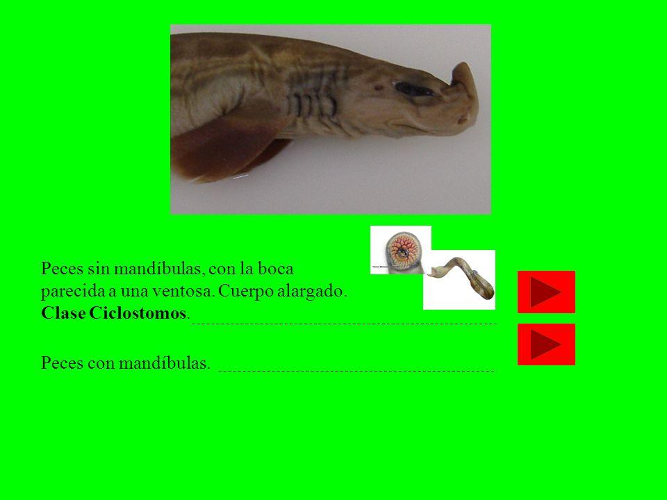 Peces sin mandíbulas, con la boca parecida a una ventosa. Cuerpo alargado. Clase Ciclostomos. Peces con mandíbulas.
