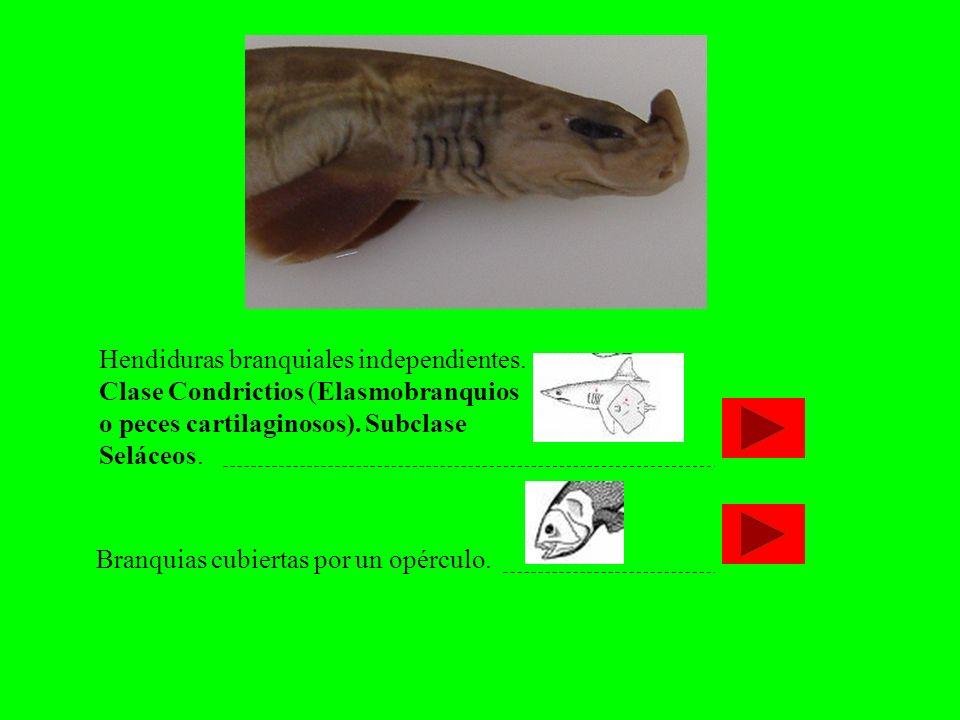 Hendiduras branquiales independientes. Clase Condrictios (Elasmobranquios o peces cartilaginosos). Subclase Seláceos. Branquias cubiertas por un opérc