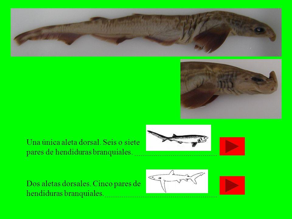Una única aleta dorsal. Seis o siete pares de hendiduras branquiales. Dos aletas dorsales. Cinco pares de hendiduras branquiales.