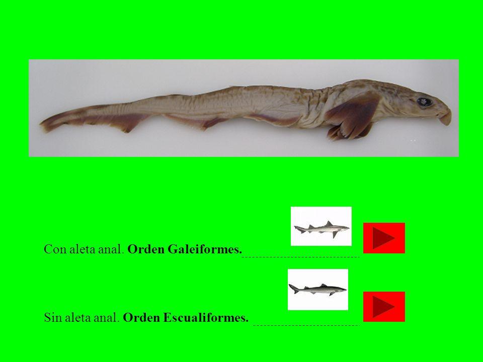 Con aleta anal. Orden Galeiformes. Sin aleta anal. Orden Escualiformes.