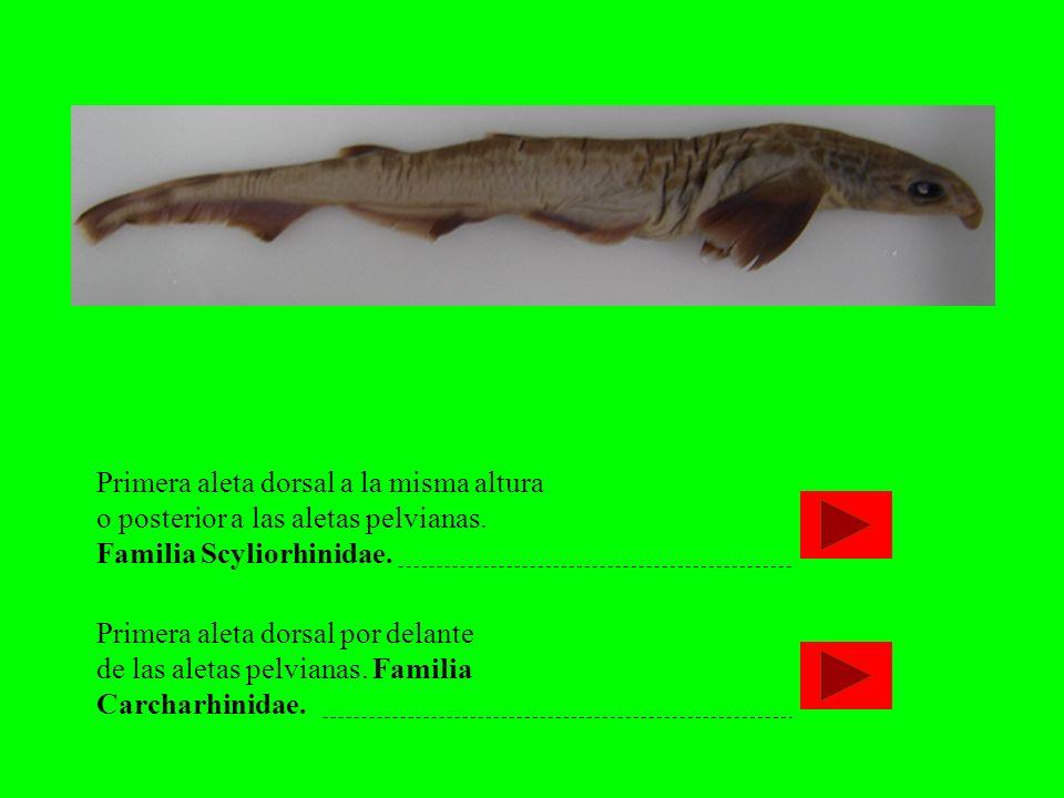 Primera aleta dorsal a la misma altura o posterior a las aletas pelvianas. Familia Scyliorhinidae. Primera aleta dorsal por delante de las aletas pelv