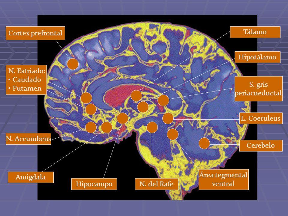 Cortex prefrontal N. Estriado: Caudado Putamen N. Accumbens Amigdala HipocampoN. del Rafe Área tegmental ventral Cerebelo L. Coeruleus S. gris periacu