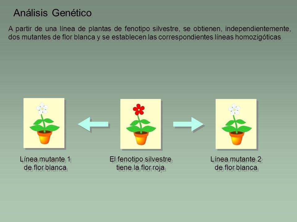 El fenotipo silvestre tiene la flor roja A partir de una línea de plantas de fenotipo silvestre, se obtienen, independientemente, dos mutantes de flor