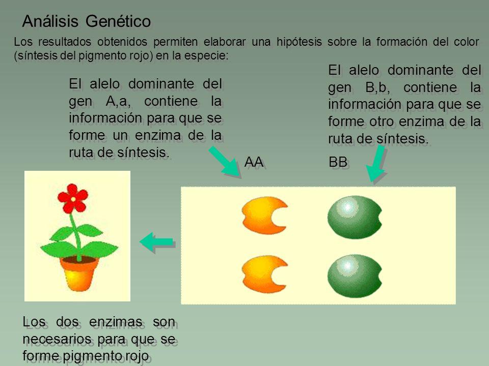 Los resultados obtenidos permiten elaborar una hipótesis sobre la formación del color (síntesis del pigmento rojo) en la especie: Análisis Genético BB