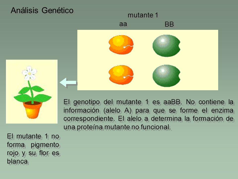 Análisis Genético El genotipo del mutante 1 es aaBB. No contiene la información (alelo A) para que se forme el enzima correspondiente. El alelo a dete