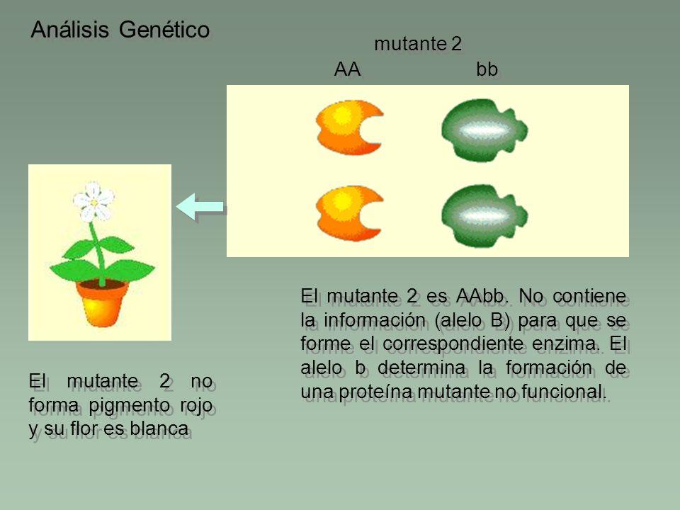 Análisis Genético bb AA El mutante 2 es AAbb. No contiene la información (alelo B) para que se forme el correspondiente enzima. El alelo b determina l