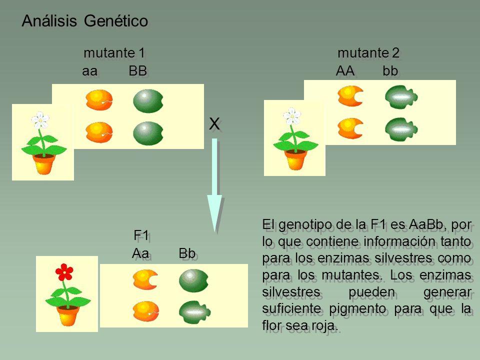 Análisis Genético BB aa mutante 1 bb AA mutante 2 X X El genotipo de la F1 es AaBb, por lo que contiene información tanto para los enzimas silvestres