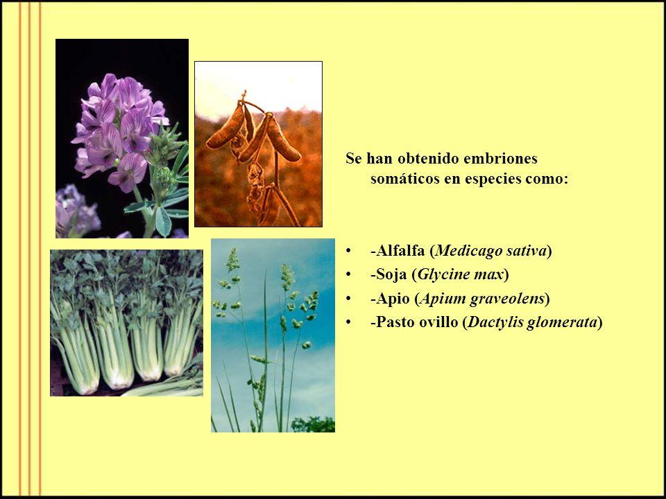 Se han obtenido embriones somáticos en especies como: -Alfalfa (Medicago sativa) -Soja (Glycine max) -Apio (Apium graveolens) -Pasto ovillo (Dactylis