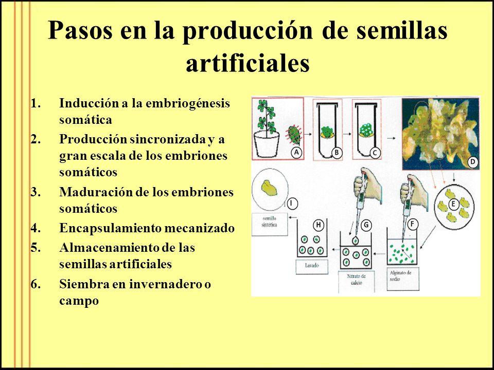 Pasos en la producción de semillas artificiales 1.Inducción a la embriogénesis somática 2.Producción sincronizada y a gran escala de los embriones som