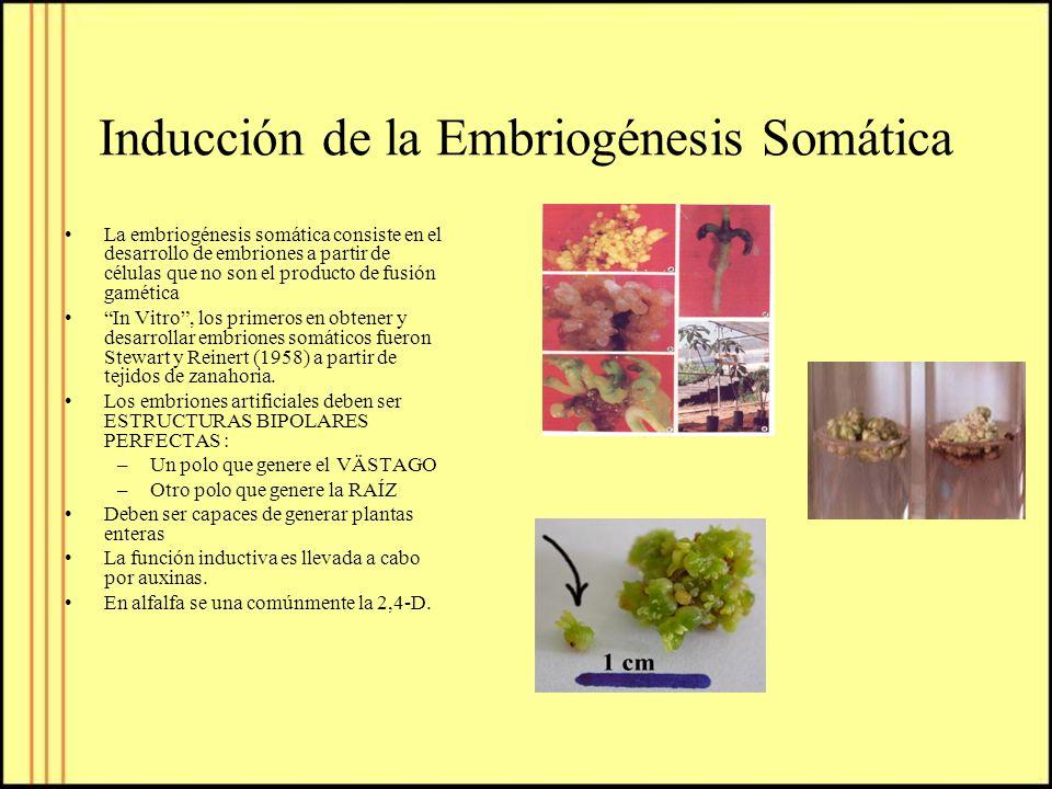 Inducción de la Embriogénesis Somática La embriogénesis somática consiste en el desarrollo de embriones a partir de células que no son el producto de