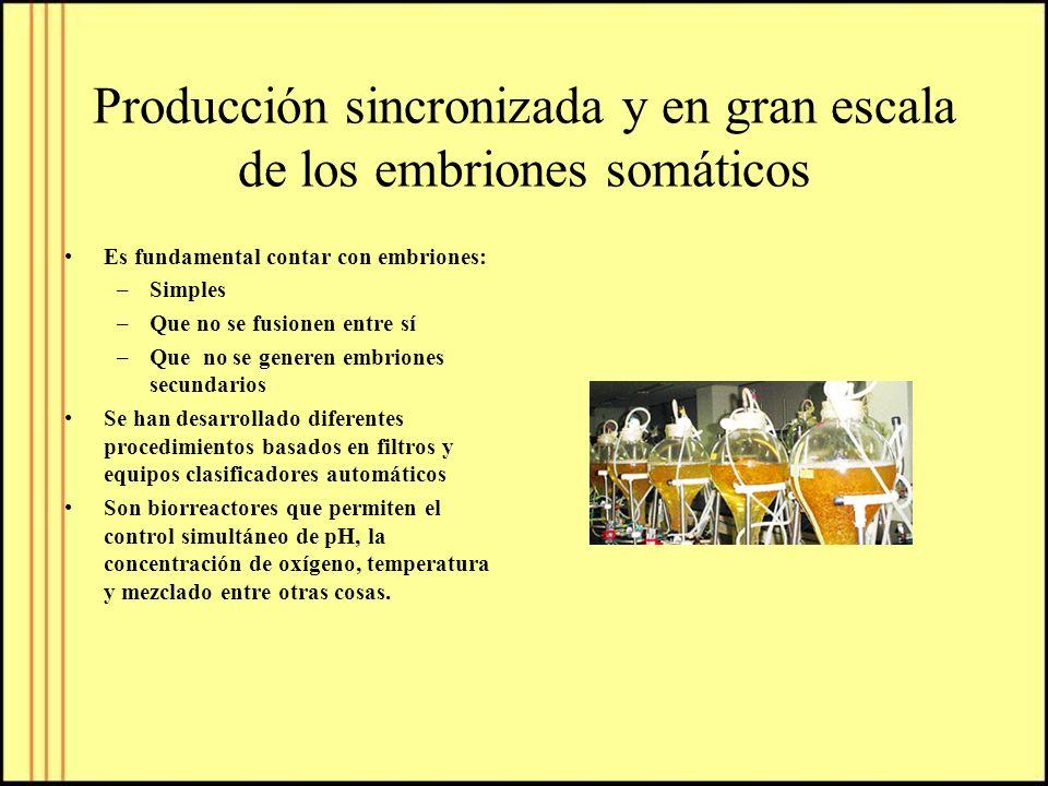 Producción sincronizada y en gran escala de los embriones somáticos Es fundamental contar con embriones: –Simples –Que no se fusionen entre sí –Que no