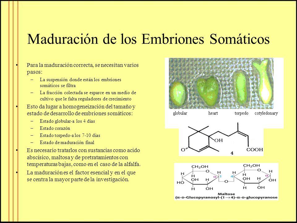 Maduración de los Embriones Somáticos Para la maduración correcta, se necesitan varios pasos: –La suspensión donde están los embriones somáticos se fi