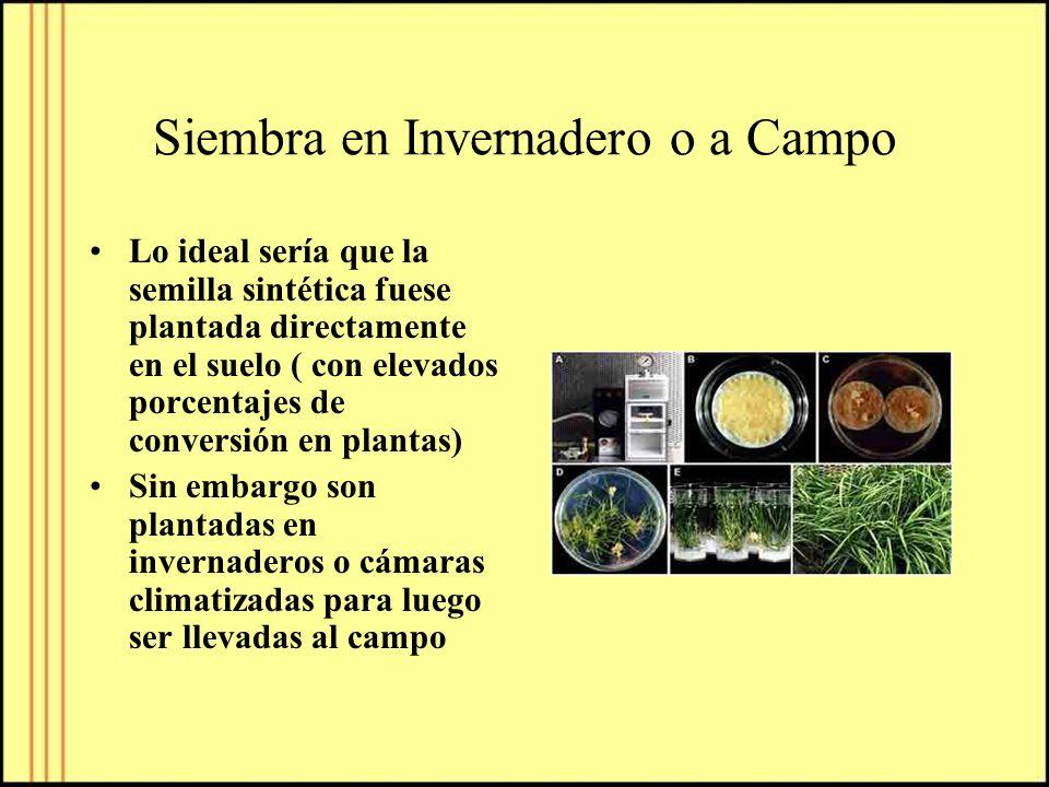 Siembra en Invernadero o a Campo Lo ideal sería que la semilla sintética fuese plantada directamente en el suelo ( con elevados porcentajes de convers