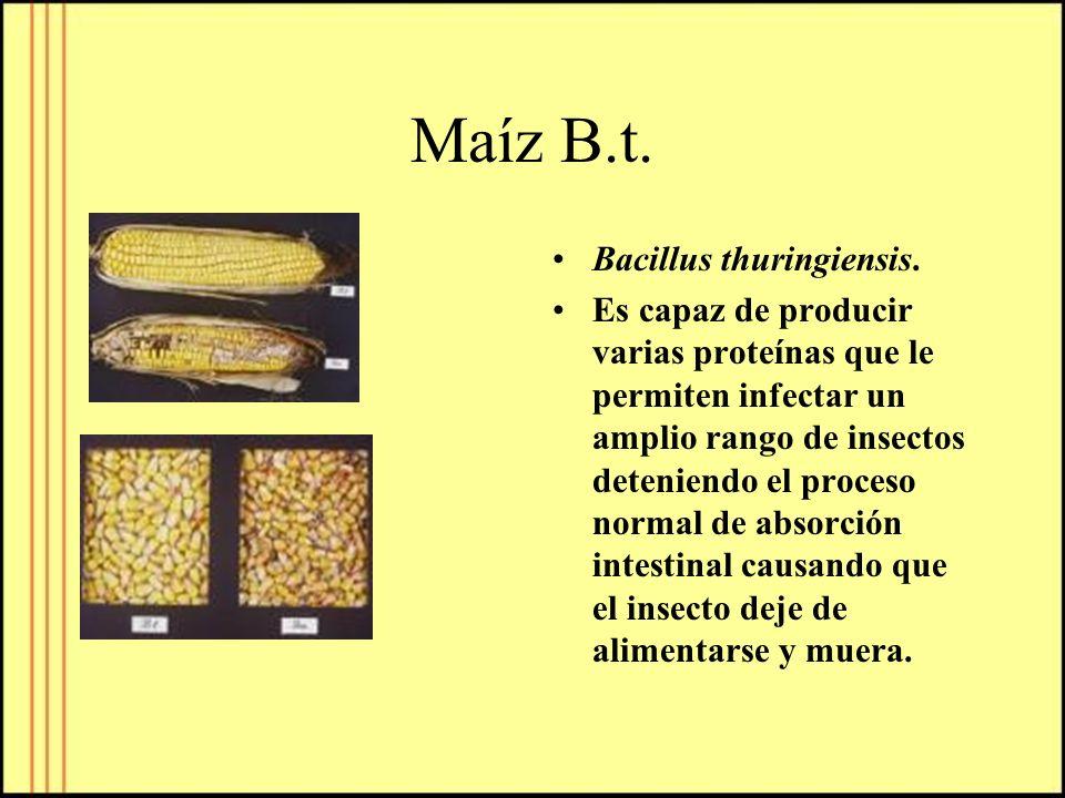 Maíz B.t. Bacillus thuringiensis. Es capaz de producir varias proteínas que le permiten infectar un amplio rango de insectos deteniendo el proceso nor