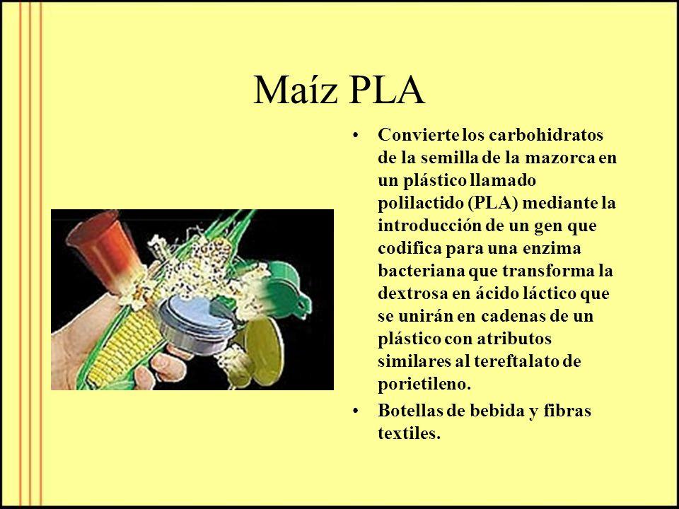 Maíz PLA Convierte los carbohidratos de la semilla de la mazorca en un plástico llamado polilactido (PLA) mediante la introducción de un gen que codif