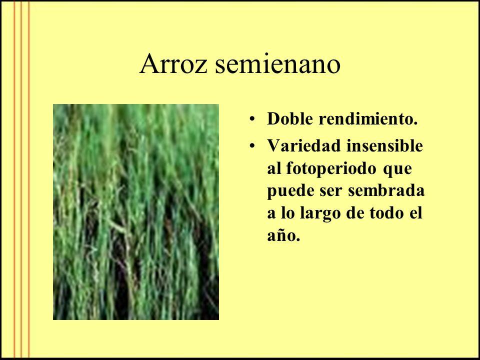 Arroz semienano Doble rendimiento. Variedad insensible al fotoperiodo que puede ser sembrada a lo largo de todo el año.