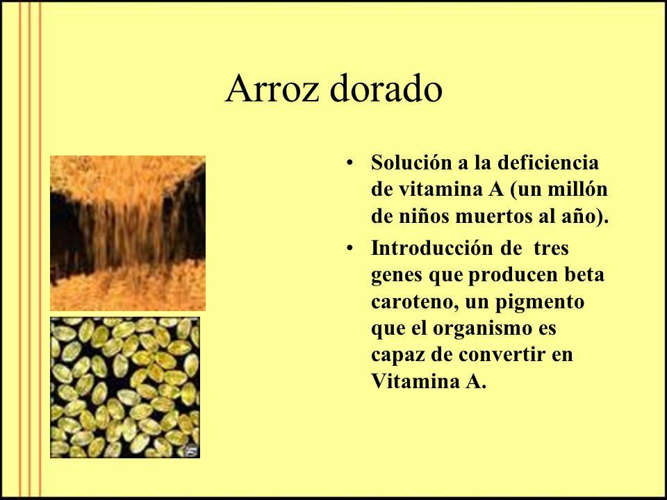 Arroz dorado Solución a la deficiencia de vitamina A (un millón de niños muertos al año). Introducción de tres genes que producen beta caroteno, un pi