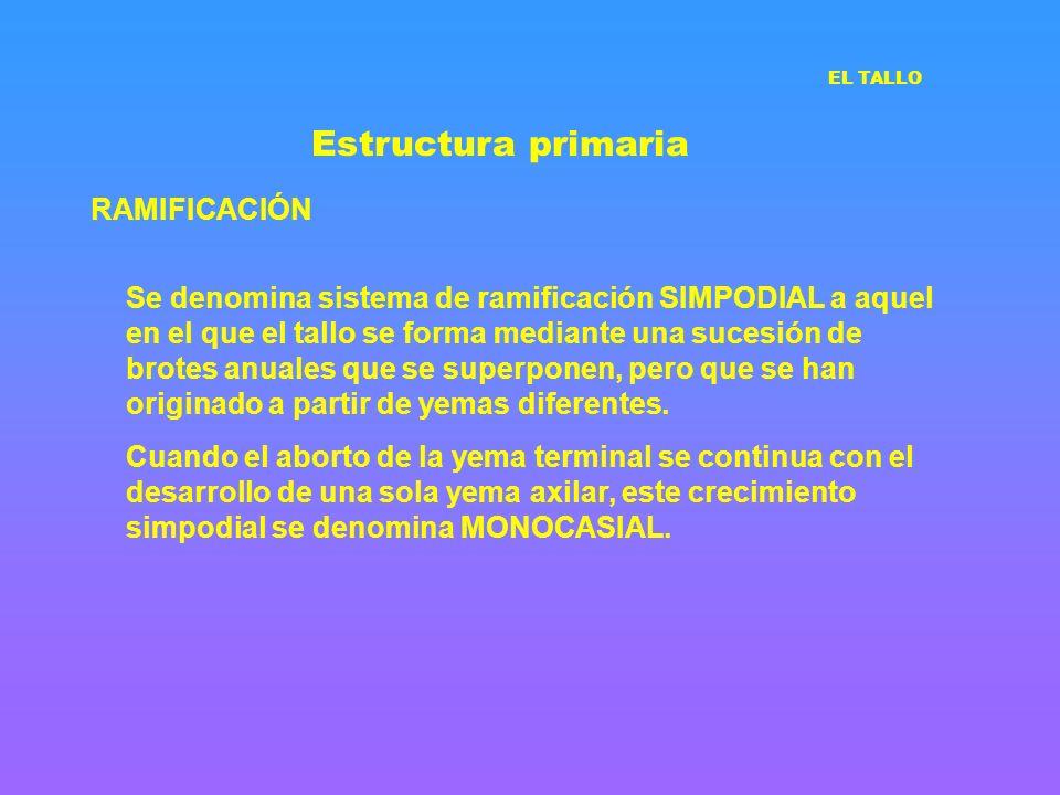 Estructura primaria RAMIFICACIÓN Se denomina sistema de ramificación SIMPODIAL a aquel en el que el tallo se forma mediante una sucesión de brotes anu