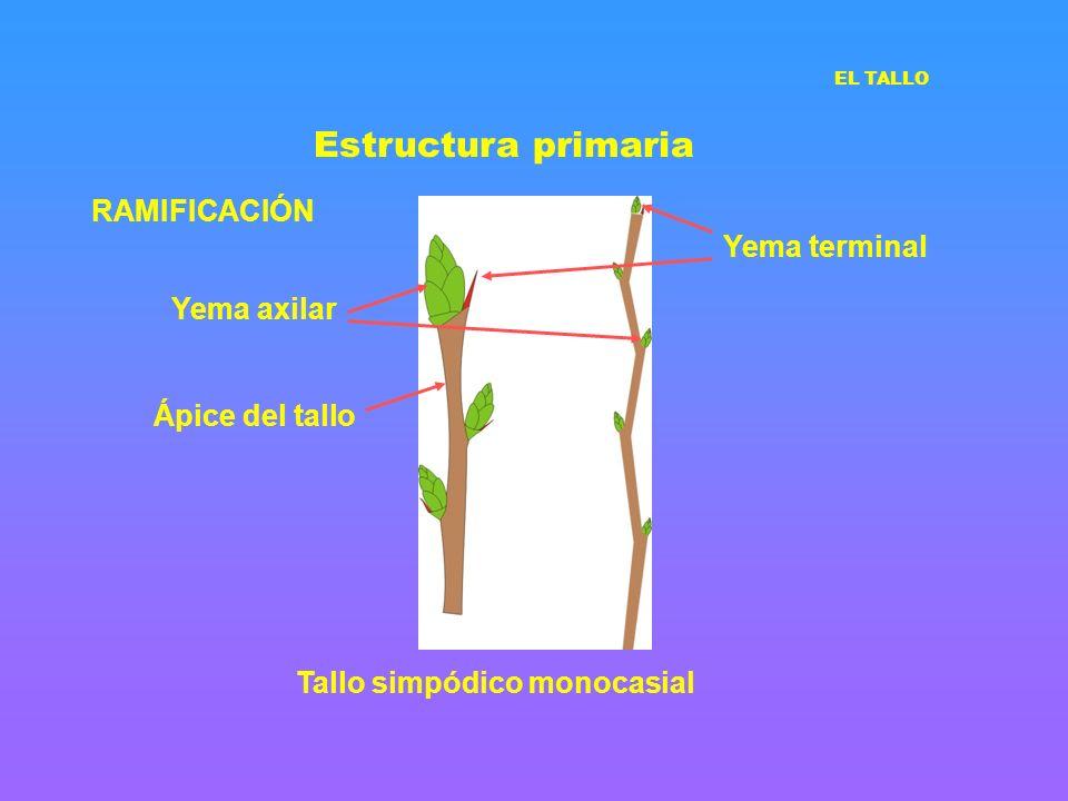 Estructura primaria RAMIFICACIÓN Tallo simpódico monocasial Ápice del tallo Yema axilar Yema terminal EL TALLO