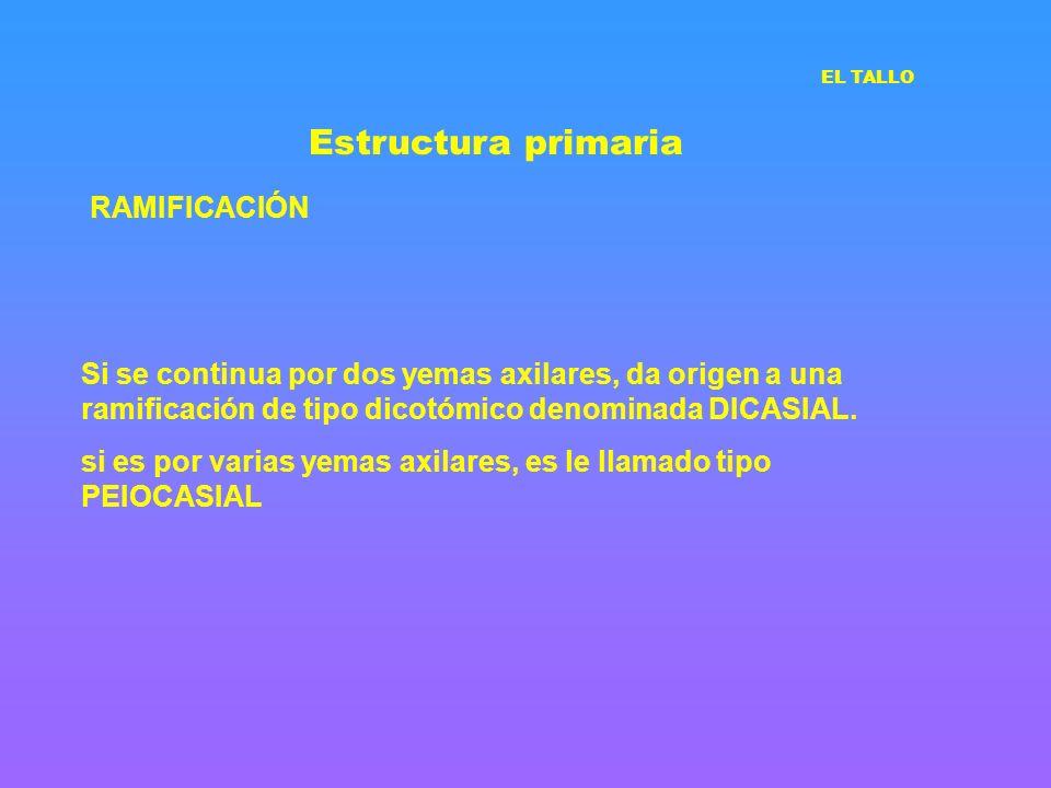 Estructura primaria RAMIFICACIÓN Si se continua por dos yemas axilares, da origen a una ramificación de tipo dicotómico denominada DICASIAL. si es por
