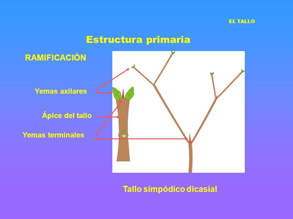 Estructura primaria RAMIFICACIÓN Tallo simpódico dicasial Yemas axilares Yemas terminales EL TALLO Ápice del tallo
