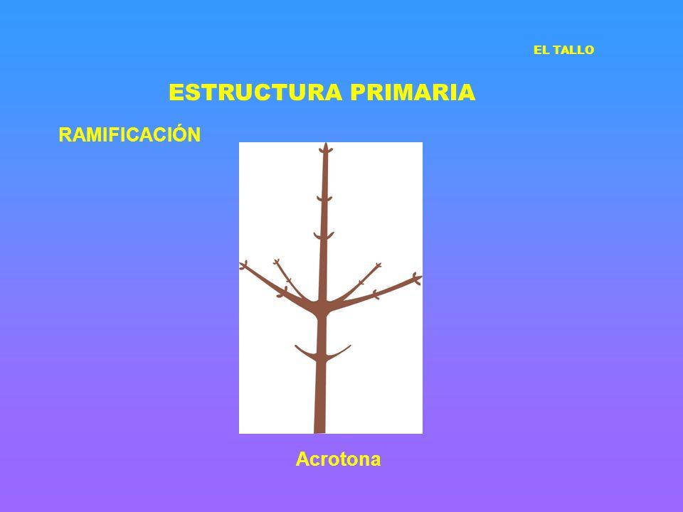 ESTRUCTURA PRIMARIA RAMIFICACIÓN EL TALLO Acrotona