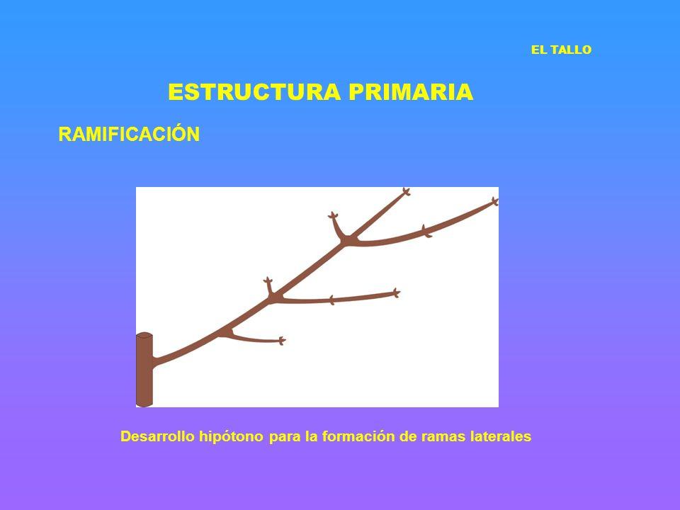 ESTRUCTURA PRIMARIA RAMIFICACIÓN EL TALLO Desarrollo hipótono para la formación de ramas laterales