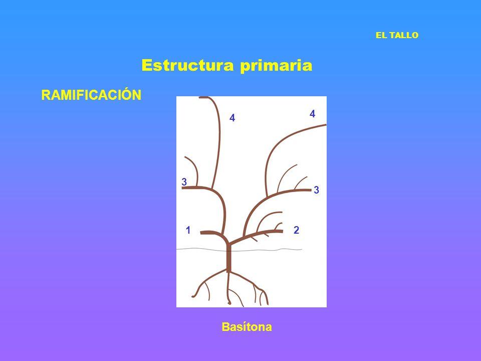 Estructura primaria RAMIFICACIÓN EL TALLO 12 3 3 4 4 Basítona