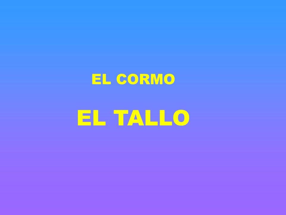 EL CORMO EL TALLO