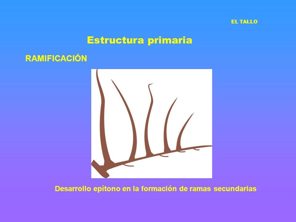Estructura primaria RAMIFICACIÓN EL TALLO Desarrollo epítono en la formación de ramas secundarias
