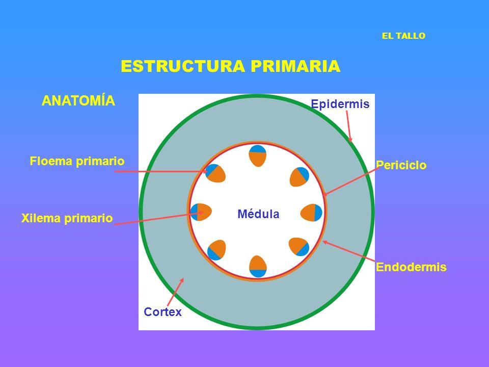 ESTRUCTURA PRIMARIA ANATOMÍA Floema primario Xilema primario Médula Cortex Epidermis Endodermis Periciclo EL TALLO