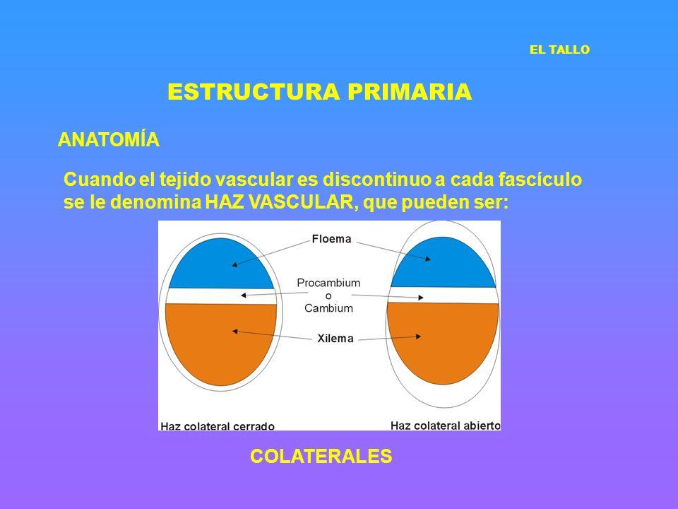 ESTRUCTURA PRIMARIA ANATOMÍA Cuando el tejido vascular es discontinuo a cada fascículo se le denomina HAZ VASCULAR, que pueden ser: COLATERALES EL TAL
