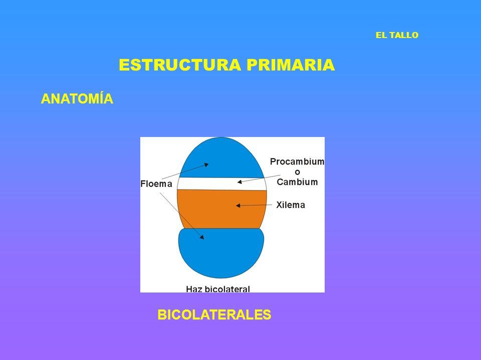 ESTRUCTURA PRIMARIA ANATOMÍA BICOLATERALES EL TALLO