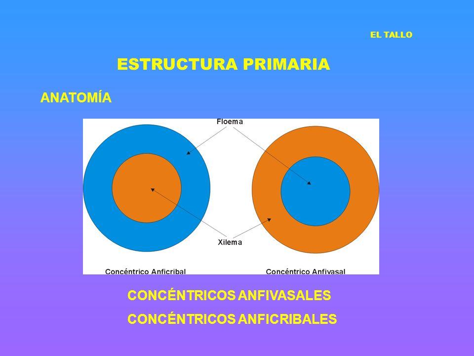 ESTRUCTURA PRIMARIA ANATOMÍA CONCÉNTRICOS ANFIVASALES CONCÉNTRICOS ANFICRIBALES EL TALLO