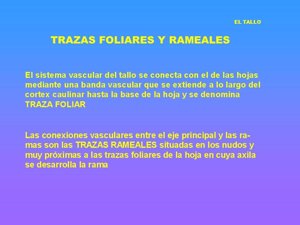 TRAZAS FOLIARES Y RAMEALES EL TALLO