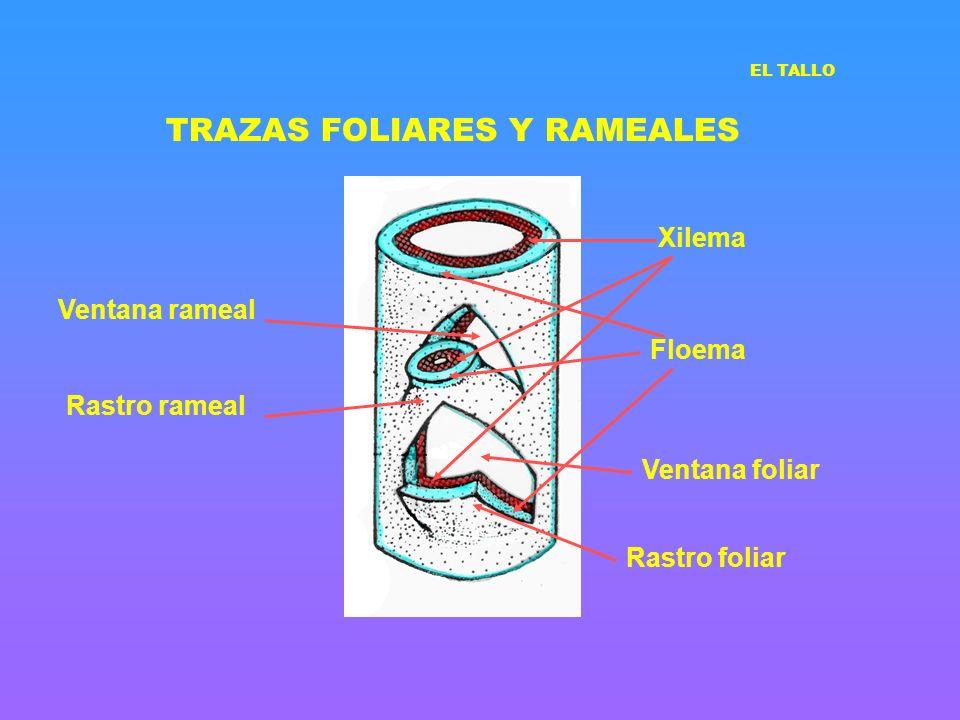 TRAZAS FOLIARES Y RAMEALES Ventana rameal Ventana foliar Rastro rameal Rastro foliar Xilema Floema EL TALLO