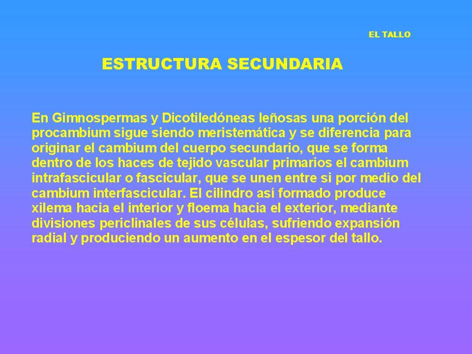 ESTRUCTURA SECUNDARIA EL TALLO