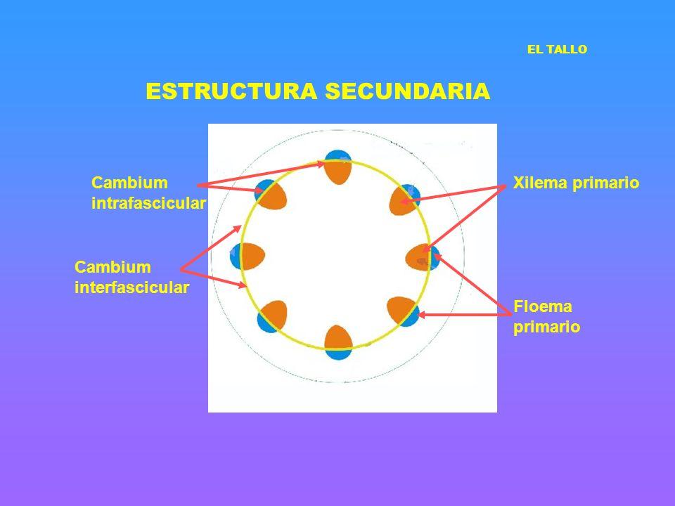 ESTRUCTURA SECUNDARIA EL TALLO Cambium interfascicular Cambium intrafascicular Xilema primario Floema primario