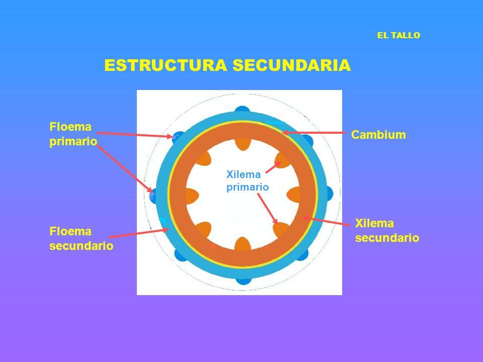 ESTRUCTURA SECUNDARIA EL TALLO Cambium Xilema primario Xilema secundario Floema primario Floema secundario
