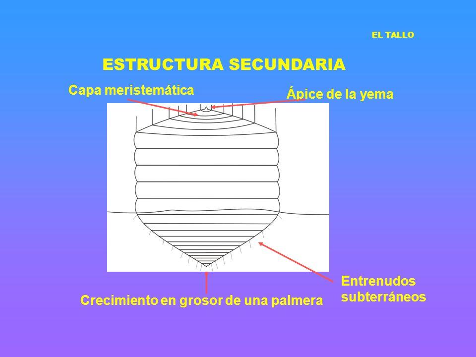 ESTRUCTURA SECUNDARIA Crecimiento en grosor de una palmera Ápice de la yema Entrenudos subterráneos Capa meristemática EL TALLO
