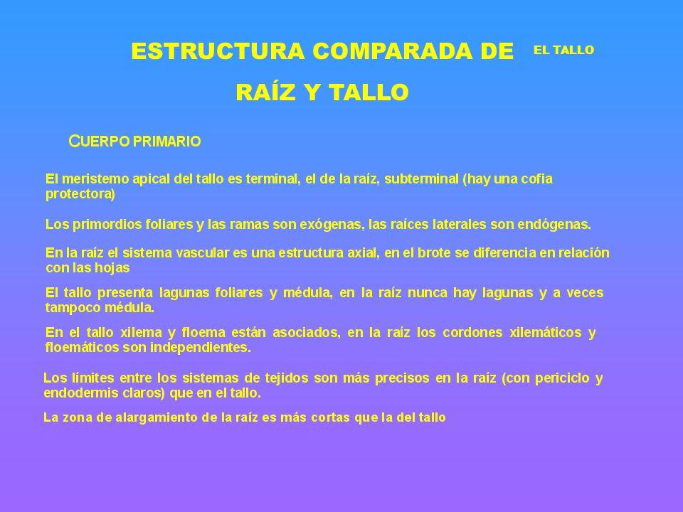 ESTRUCTURA COMPARADA DE RAÍZ Y TALLO EL TALLO