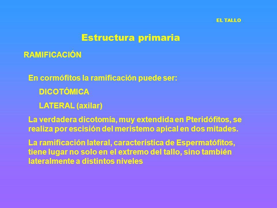 Estructura primaria RAMIFICACIÓN En cormófitos la ramificación puede ser: DICOTÓMICA LATERAL (axilar) La verdadera dicotomía, muy extendida en Pteridó