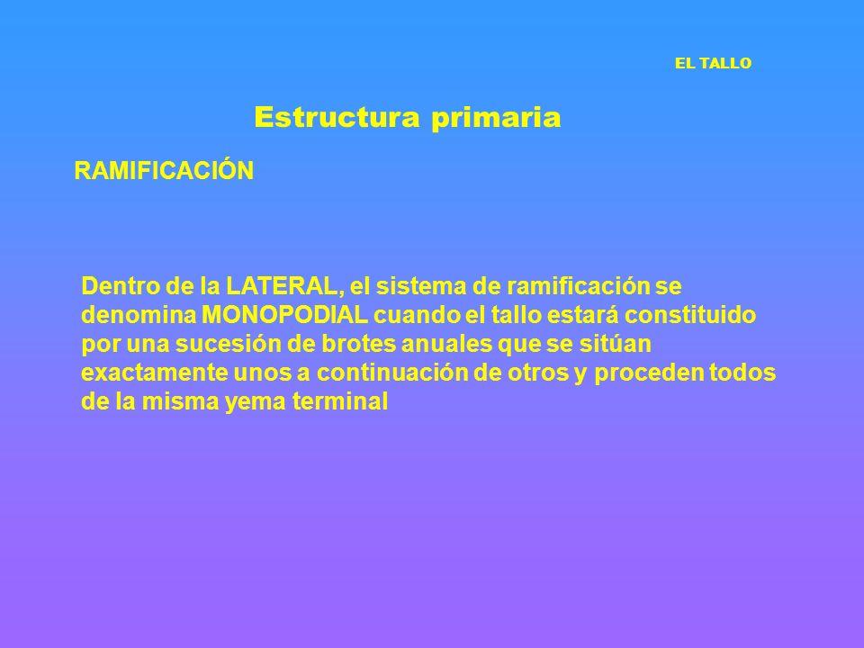 Estructura primaria RAMIFICACIÓN Dentro de la LATERAL, el sistema de ramificación se denomina MONOPODIAL cuando el tallo estará constituido por una su
