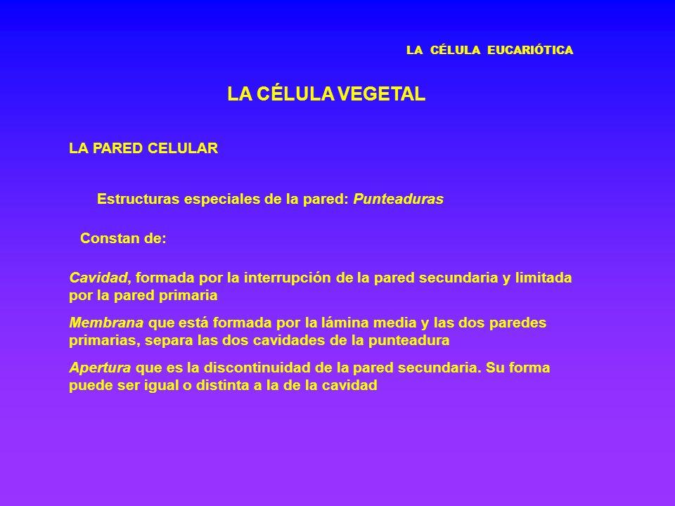LA CÉLULA EUCARIÓTICA LA CÉLULA VEGETAL LA PARED CELULAR Estructuras especiales de la pared: Punteaduras Cavidad, formada por la interrupción de la pa
